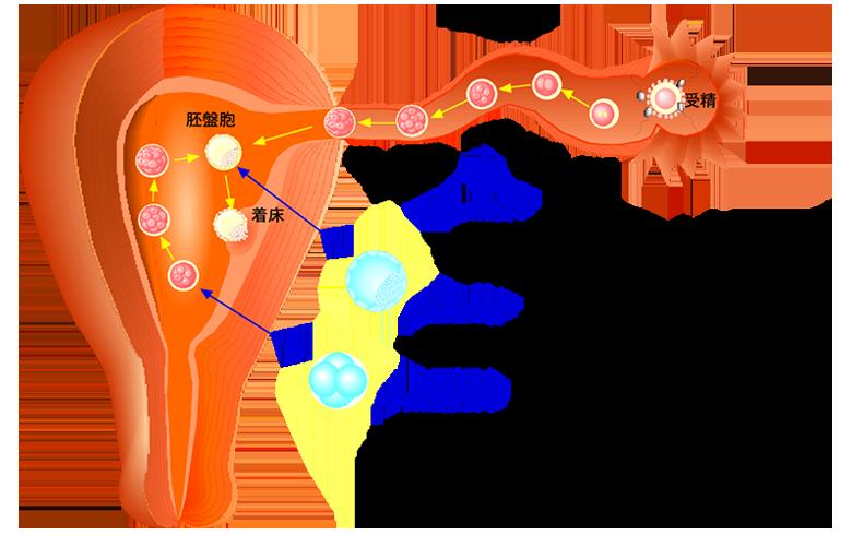 胚盤胞移植の特徴 不妊不育治療センター 医療法人明日香会 ASKAレディースクリニック